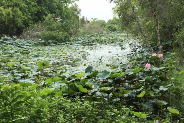 Lotus flowers in Plain of Reeds